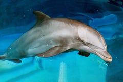 Dettaglio alto vicino del ritratto del delfino mentre esaminandovi immagini stock libere da diritti