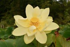 Dettaglio americano del fiore di loto Fotografia Stock Libera da Diritti