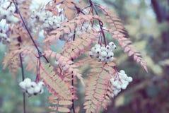 Dettaglio autunnale di un ramo di albero cinese selvaggio della sorba con le foglie della cenere di montagna e le bacche bianche  immagini stock libere da diritti