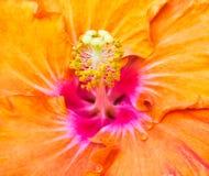 Dettaglio Colourful dello stame del fiore dell'ibisco fotografie stock