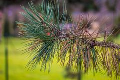 Dettaglio conifero vivo del ramo nel giardino Fotografie Stock