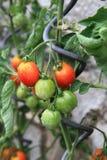 Dettaglio dall'azienda agricola domestica - piante di pomodori Fotografia Stock Libera da Diritti