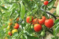 Dettaglio dall'azienda agricola domestica - piante di pomodori Immagine Stock
