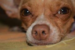 Dettaglio dall'occhio e dal naso di una chihuahua dog2 fotografie stock libere da diritti