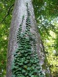 Dettaglio dalla foresta - albero verde molto alto con le foglie striscianti dell'edera immagine stock
