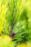 Dettaglio degli aghi dell'albero Fotografie Stock