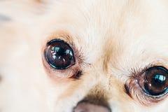 Dettaglio degli occhi scuri di piccola chihuahua sveglia del cane Immagini Stock Libere da Diritti