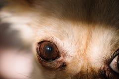 Dettaglio degli occhi scuri di piccola chihuahua sveglia del cane Immagini Stock