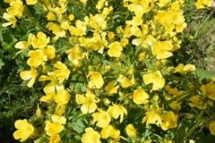 Dettaglio dei fiori del ranuncolo color giallo canarino Gran Canaria Immagine Stock Libera da Diritti