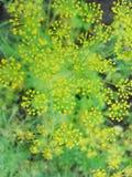 Dettaglio dei fiori dell'aneto & di x28; fine-up& x29; Priorità bassa vaga Immagine Stock