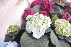 dettaglio dei fiori di ortensia Immagini Stock