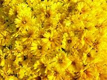 Dettaglio dei fiori gialli dei crisantemi Fotografia Stock