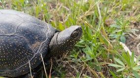Dettaglio dei orbicularis europei di Emys della tartaruga dello stagno o tartaruga d'acqua dolce europea dello stagno in erba, na video d archivio