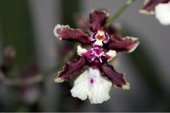 Dettaglio del bambino porpora bianco di Onchidium Sharry delle orchidee con fondo confuso immagine stock libera da diritti
