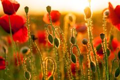 Dettaglio del campo dei papaveri nel tramonto in una profondità di campo bassa Vista di sensibilità di armonia di tramonto buona  Immagine Stock