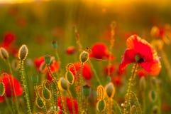 Dettaglio del campo dei papaveri nel tramonto in una profondità di campo bassa Vista di sensibilità di armonia di tramonto buona  Fotografia Stock Libera da Diritti