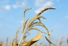 Dettaglio del campo di grano Immagini Stock Libere da Diritti