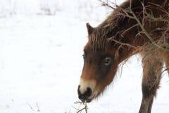 Dettaglio del cavallo di Exmoor Immagine Stock