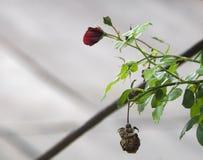 Dettaglio del cespuglio di rose rosse come fondo floreale Chiuda sul punto di vista delle rose rosse in Caucaso l'azerbaijan Fotografia Stock Libera da Diritti