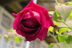 Dettaglio del cespuglio di rose rosse come fondo floreale Chiuda sul punto di vista delle rose rosse in Caucaso l'azerbaijan Immagini Stock