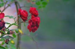 Dettaglio del cespuglio di rose rosse come fondo floreale Chiuda sul punto di vista delle rose rosse in Caucaso l'azerbaijan Immagine Stock Libera da Diritti