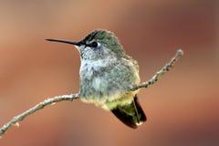 Dettaglio del colibrì Immagini Stock