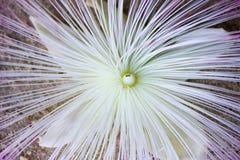 Dettaglio del fiore asiatico di barringtonia sulla sabbia Fotografia Stock
