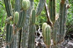 Dettaglio del fiore del cactus, Playa Larga Immagini Stock