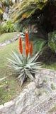 dettaglio del fiore dell'aloe Fotografia Stock