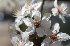 Dettaglio del fiore della ciliegia della cera immagine stock
