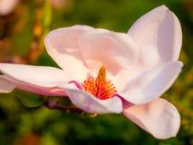 Dettaglio del fiore della magnolia fotografia stock libera da diritti