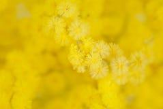 Dettaglio del fiore della mimosa Fotografia Stock