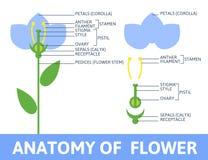 Dettaglio del fiore di anatomia Fotografia Stock Libera da Diritti