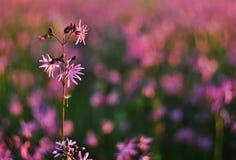 Dettaglio del fiore di flos-cuculi di Lychnis Fotografia Stock