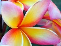 Dettaglio del fiore fresco Colourful del frangipane immagine stock