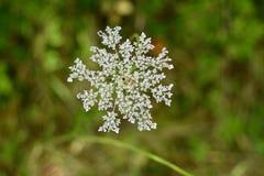 Dettaglio del fiore del pizzo del ` s della regina Anne Fotografie Stock