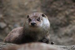 Dettaglio del fronte della lontra di fiume nordamericana immagine stock
