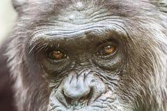 Dettaglio del fronte di uno scimpanz? immagini stock