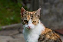 Dettaglio del fronte del gatto Fotografie Stock