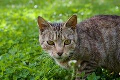 Dettaglio del fronte del gatto Immagine Stock