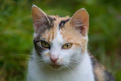 Dettaglio del fronte del gatto Immagini Stock Libere da Diritti