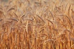 Dettaglio del giacimento di grano Immagini Stock Libere da Diritti