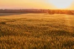 Dettaglio del giacimento di grano Fotografia Stock Libera da Diritti