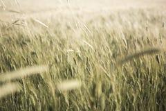 Dettaglio del giacimento di grano con i colori morbidi Fotografia Stock