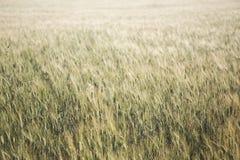 Dettaglio del giacimento di grano con i colori morbidi Immagini Stock