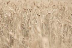 Dettaglio del giacimento di grano con i colori morbidi Fotografie Stock Libere da Diritti