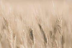 Dettaglio del giacimento di grano con la morbidezza Fotografie Stock