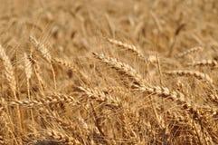 Dettaglio del giacimento di grano pronto ad essere raccolto Immagine Stock Libera da Diritti