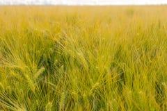 Dettaglio del giacimento di grano sotto il sole Immagini Stock Libere da Diritti