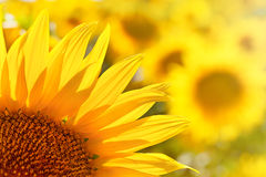 Dettaglio del girasole di Backlighting Fotografia Stock